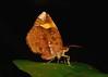 Butterfly Moth (Callidula attenuata, Callidulidae) (John Horstman (itchydogimages, SINOBUG)) Tags: macro china yunnan itchydogimages sinobug moth lepidoptera callidulidae black insect fbm fbipm entomology top tumblr