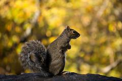 Squirrelly (kzoop) Tags: nyc newyork newyorkcity manhattan park forttryonpark fall autumn squirrel animal animals