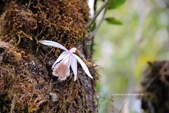 Pleione humilis (Sm.) D.Don (Himalayan Biodiversity and Landscape) Tags: orchidaceae flower pleione humilis nepal kaski panchase himalaya