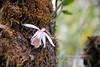 Pleione humilis (Sm.) D.Don (Himalayan Biodiversity and Landscape) Tags: orchidaceae flower pleione humilis nepal kaski panchase himalaya himalayanflowers himalayanflora floraofnepal epiphyticorchids orchid orchids