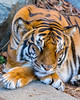 Sawa ♀ - Sleeping Beauty (Harimau Kayu (AKA Sumatra-Tiger)) Tags: tiger bengaltiger femaletiger beauty charm charming beautiful lovely cute gorgeous bigcat asiancat feline animal mammal carnvore predator beast kaminezoo hitachi ibaragi japan tigress