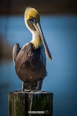 Myrtle Beach Pelican (The Suss-Man (Mike)) Tags: atlanticocean beach horrycounty myrtlebeach nature sonyslta77 southcarolina sunrise sussmanimaging thesussman water murrellsinlet unitedstates bokeh dof bokehlicious bird animal pelican