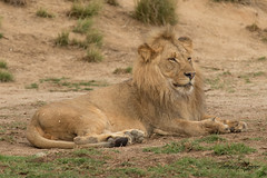 Ernest (ToddLahman) Tags: ernest izu oshana lion lions lioncamp lioncubs canon7dmkii canon canon100400 sandiegozoosafaripark safaripark mammal animal