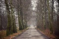 the path (JoannaRB2009) Tags: path alley avenue road tree trees birch mist fog nature weather winter cold grey lowersilesia dolnyśląsk polska poland dolinabaryczy