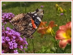 Peace (vtpeacenik) Tags: butterfly redadmiral july vermont