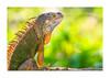_MG_1002 (Chilo_Pérez) Tags: verde iguana garrobo naranja