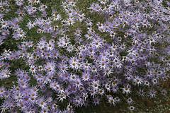 aster flamboyant (Jeff Mitton) Tags: tansyleafaster machaerantheratanacetifolia native wildflower earthnaturelife wondersofnature