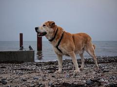 2017-02-03_17-08-03 (torstenbehrens) Tags: alter hund am strand olympus ep1 digital camera