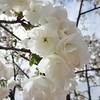 T'aimer (nathaliedunaigre) Tags: fleurs flowers printemps spring love amour douceur sweetness nature carré square white blanc tendresse tenderness inmemoriam cherryblossoms cherry blossoms