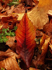 Autumn Oct 16 - 212 (Lostash) Tags: nature plants flora autumn leaf leaves seasons