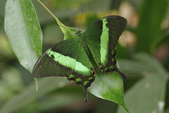 Green-banded Peacock Butterfly-Papilio palinurus (Phasmomantis) Tags: naturethroughthelens ruby10