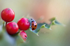 Festive Lady (Jacky Parker Floral Art) Tags: ladybird ladybug 7spot insect beetle holly berries red closeup macro selectivefocus focusonforeground christmas xmas festive horizontalformat florafauna wildlife garden outdoors nopeople naturephotography macrophotography uk
