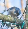 Formal Dinning. (Omygodtom) Tags: wildlife wild urbunnature scrubjay bird outdoors oregon scene abstract animalplanet animal nikkor leica d7100 bokeh blue nikon70300mmvrlens