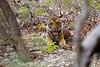 Happy New Year 2017! (ZeePack) Tags: tiger tigress malani bijrani forest jungle uttarakhand india canon 5dmarkiii outdoor corbetttigerreserve seated resting
