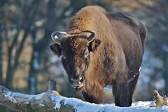 Bison (Hugo von Schreck) Tags: hugovonschreck bison animal tier outdoor hirschhausen hessen deutschland germany europe canoneos5dsr fantasticnature tamronsp150600mmf563divcusda011