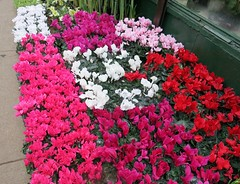 New York Sidewalks - The Flower District (Pushapoze (nmp)) Tags: newyorkcity offsixthavenue florists cyclamen sidewalk trottoir