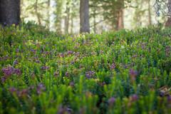 IMG_6633 (dangerismycat) Tags: california yosemite yosemitenationalpark tuolumnemeadows doglaketrail flower wildflower
