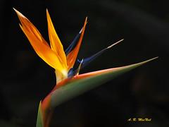 The Bird of Paradise - Kula, Maui (Barra1man) Tags: thebirdofparadise birdofparadiseflower birdofparadise tropical tropicalflower garden upcountry darkbokeh colourful kula maui hawaii unitedstates olympus olympusem1 iso640 lens300mm f5611250