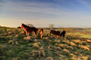 2016_12_27_0447_8_9_fused (EJ Bergin) Tags: westsussex findon cissburyring earlymorning newforestponies hdr exposurefusion nationaltrust southdowns