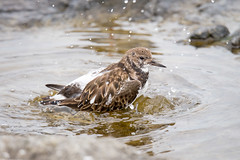Ruddy Turnstone Bathing (jeffloomis1) Tags: ruddyturnstone bathing