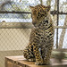 Jaguar Gamboa Wildlife Rescue pandemonio 2017 - 11