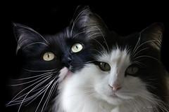 Gaya @ Rosie (K.Verhulst) Tags: gaya rosie cats cat poes poezen pet huisdier noorseboskat norwegianforestcat