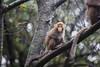 20170131-8M7A5459 (chris_peng) Tags: 獼猴 猴子