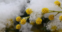mimosa covered with snow (bugman11) Tags: snow winter yellow flora flower flowers macro canon 100mm28lmacro nature nederland haarlem thenetherlands 1001nightsmagiccity 1001nights thegalaxy platinumheartaward
