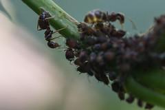 fourmi  la nurserie.jpg (Sylvain Bdard) Tags: nature ant insects aphid fourmi puceron commensalism commensalisme