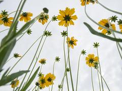 Lazy Afternoon 01 (Podsville) Tags: flowers summer plant flower june us unitedstates michigan lansing tickseed coreopsissp fennernaturecenter