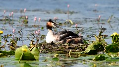 Great crested grebe : Podiceps cristatus (Jerry Hawker) Tags: baby bird parents video nest chick chicks grebe greatcrestedgrebe somersetlevels westhaymoor