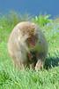 Rotgesichtsmakaken im Highland Wildlife Park (Ulli J.) Tags: uk greatbritain zoo scotland alba unitedkingdom highland schottland kincraig schotland kingussie japanesemacaque écosse royaumeuni skotland grandebretagne highlandwildlifepark japansemakaak storbritannien japanmakak rotgesichtsmakak schneeaffe vereinigteskönigreich macaquejaponais grootbrittannië verenigdkoninkrijk grosbritannien japansksneabe