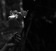 Dead blossom (Vital Fervor) Tags: life light bw white black art dark dead leaf hand blossom bokeh boom meaning meant