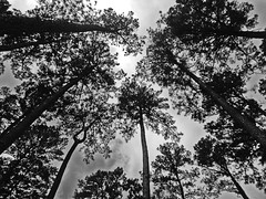 Week 27 (2015) - 27 June-4 July (Trees) (Whatknot) Tags: up project mississippi flickr giants tupelo 2015 projectflickr whatknot