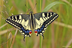 Macaone (Darea62) Tags: butterfly macaone a230 wings papilio machaon swallowtail old world common yellow