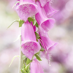Pink trumpets (10000 wishes) Tags: pink light flower colour nature garden digitalis foxgloves flowerscolors