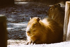Capybaras in the sun (DOKTOR WAUMIAU) Tags: summer zoo nikon urlaub ostfriesland tierpark lightroom jaderpark ishootraw jaderberg d7200 vscofilm