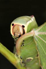 Puss Moth Caterpillar (jackie#1981) Tags: uk macro nature wildlife caterpillar naturereserve southyorkshire rspb oldmoor pussmothcaterpillar jackie1981