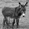 clare 100edit (barry.oshea) Tags: ireland sea white black water clare donkey ennistymon lehinch