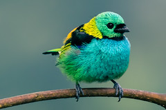 Green-headed Tanager (Thelma Gatuzzo) Tags: avesbrasileiras pássaros aves nature mataatlantica 2015 brazilianbirds pássarosbrasileiros natureza birdwatching wild rainforest wildlife bird thelmagatuzzo© animalia brasil fauna thelmagatuzzophotography© birds animais 6 ngc