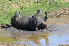 2016 South Africa (Ian Macfadyen) Tags: rhino blackrhino rhinocerus wallowing mudbath southafrica easterncape kareigagamereserve horn