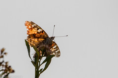 American Painted Lady (Vanessa virginiensis) (BiteYourBum.Com Photography) Tags: dawnandjim dawnjim biteyourbum biteyourbumcom copyright©2017biteyourbumcom copyright©biteyourbumcom allrightsreserved canoneos7d canonefs60mmf28macrousm sigma50500mmf4563dgoshsm canonef1740mmf4lusm apple imac5k lightroom5 ipadair appleipadair camranger lrenfuse focusstacking polaroidautofocusdgmacroextensiontubes manfrotto055cxpro3tripod manfrotto804rc2pantilthead loweproprorunner350aw sanjacintowildlifearea riversidecounty lakeview nuevo perris lakeperris morenovalley california usa sjwa sanjacinto wildlifearea wildlife area american painted lady vanessa virginiensis butterfly paintedlady americanpaintedlady vanessavirginiensis