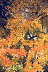 IMG_1680 (CBR1000RRX) Tags: 650d canon taiwan travel tourist landscape maple leaf autumn
