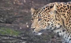 Panthera pardus japonensis 1 (Michel L'HUILLIER (Asterix_93)) Tags: panthera pardus japonensis portrait face eyes nikon d810 sigma 500mm