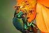 Metallic Green Fig Beetle - Macro Monday - It's Alive (jciv) Tags: beetle file:name=dsc00110 macro macromonday itsalive flower