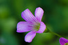Oxalis Corymbosa (Changer4Ever) Tags: nikon d7200 nikkor flower plant life nature bokeh dof depthoffield macro blooming blossom color colorful season outdoor oxaliscorymbosa closeup