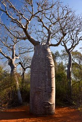 Baobab, Spiney Forest (Rod Waddington) Tags: africa afrique madagascar malagasy baobab baobabs ifaty spiney forest forrest threatened species nature national park outdoor morning sun sunrise natural native