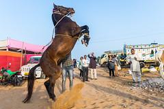 Showoff | Pushkar Fair,Rajasthan. (vjisin) Tags: pushkar rajasthan india iamnikon nikond3200 asia streetphotography street indianstreetphotography incredibleindia indianheritage travelphotography pushkarcamelfair lifestyle outdoor sky herder sport riding horse