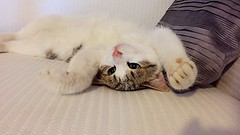 Playtime 🐾 (sofiagiovannetti) Tags: green eyes nose pink upsidedown perspective pillow nature cuddles cuddling italian italy princess follow like love animals animal house home couch stripes gray white paw furry fur cute funny fun game playing playtime felines kitty cat
