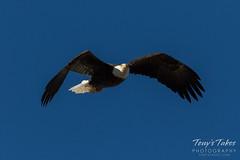 January 19, 2017 - A Bald Eagle in flight over Thornton. (Tony's Takes)